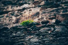 Textured stone wall with green plant weed growing. Concept of su. Rvival in bad conditions Stock Images
