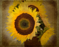 Textured Sunflowers Stock Images