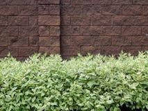 Textured tło od dekoracyjnego krzaka liścia Zdjęcie Royalty Free