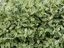 Textured tło od dekoracyjnego krzaka liścia Fotografia Stock