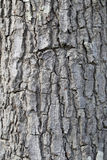 Textured of tree bark. Royalty Free Stock Image