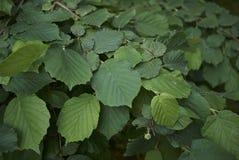 Textured ulistnienie Corylus avellana zdjęcie stock