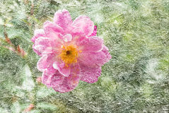 Textured vintage image of garden rose under ice Stock Images