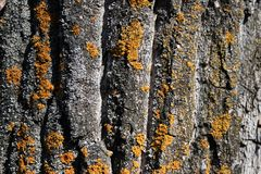 Textured weathered bark with yellow moss royalty free stock photography