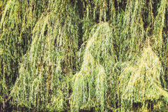 Textured weeping willow Stock Images