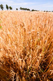 Textured Wheat Field Stock Photos