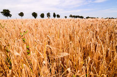 Textured Wheat Field Stock Images