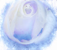 Textured white rose. On old paper grunge background Stock Image