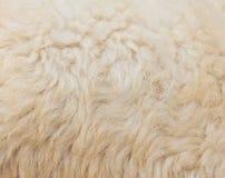 Textured of wool sheep closeup Stock Photo