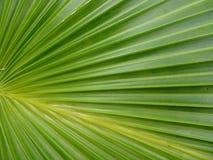 textured zielony drzewko palmowe liść Fotografia Stock