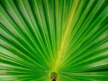 textured zielony drzewko palmowe liść Zdjęcia Royalty Free