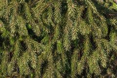 Texturen av brunt ris av ettträd med gröna prydliga visare arkivfoton