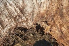 Texturen av den rå eken fotografering för bildbyråer