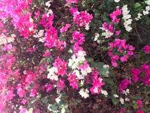 Texturen av en stor härlig frodig buske, en exotisk tropisk växt med vit och lilor, rosa färger blommar med delikata kronblad och arkivfoton