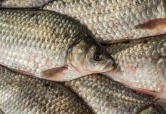 Texturen av sötvattensfiskvåg Flera ny crucian lögn tillsammans royaltyfria foton