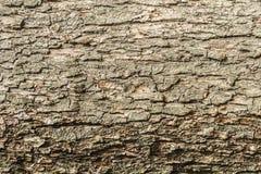 Texturen av skället av det gamla äppleträdet, abstrakt bakgrund för närbild Arkivfoton