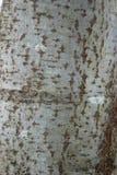 Texturen av trä och skället royaltyfria bilder