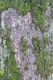 Texturen av trädskället Träd av centrala Ryssland Royaltyfri Bild