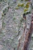 Texturen av trädskället Träd av centrala Ryssland Arkivbilder