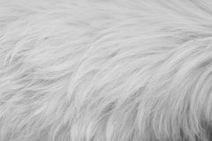 Texturen av vit päls Arkivbilder