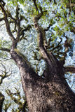 Texturen van Gebaarde Mossman Bomen, Australië Stock Afbeeldingen