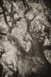 Texturen van Gebaarde Mossman Bomen, Australië Stock Foto