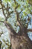 Texturen van Gebaarde Mossman Bomen, Australië Royalty-vrije Stock Afbeelding