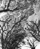 Texturen van Gebaarde Mossman Bomen, Australië Royalty-vrije Stock Foto's