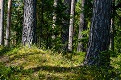 texturer för trädstam i naturlig miljö Royaltyfria Bilder