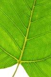 Bodhi leaf Fotografering för Bildbyråer