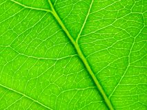 Grön leaf som bakgrund Royaltyfria Foton