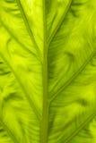 Texturera av leafen Arkivbilder