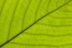 Texturera av leafen Royaltyfri Bild