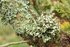 Texturera av moss, lav Arkivbilder