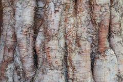 Texturera av treeskäll Arkivbild