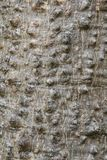 Texturera bakgrund av Bombaxceibaträdet eller det röda bomullsträdet arkivbild