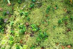 Texturera bakgrund av skogmossa royaltyfria bilder