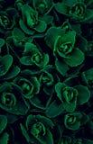Texturera, tapetsera grön mångfärgad blommaeuphorbia, sprickande ut fyllning den hela ramen arkivfoto