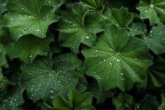 Texturera växten med vattensmå droppar royaltyfri fotografi