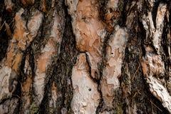 Texturerad bakgrund av ett mönstrat utsmyckat trädskäll i höstskogen arkivfoton
