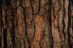 Texturerad bakgrund av ett naturligt utsmyckat trädskäll i nedgångskogen arkivfoton