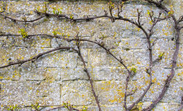Texturerad bakgrund av filialer mot en gammal stenvägg Royaltyfria Bilder