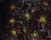 Texturerad bakgrund för lilor och för gräsplan suckulent Royaltyfri Foto