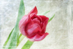Texturerad closeup av den röda tulpanblomman Fotografering för Bildbyråer