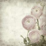 texturerad gammal paper ranunculus för bakgrund Royaltyfria Bilder
