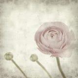 texturerade den gammala paper ranunculusen för bakgrund Royaltyfria Foton