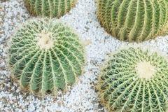 Texturerade den gröna kaktuns för closeupen på stengolv bakgrund för garnering i trädgården Royaltyfria Foton