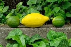 Texturerade grå färger stenar bakgrundsbakgrunden med citronen och limefrukt Arkivfoton