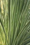 Texturerade sidor av dasylirionacrotichumväxten fotografering för bildbyråer