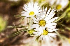 Texturerade vita Daisy Background royaltyfri fotografi
